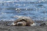 green sea turtle (Big Island, Hawaii)