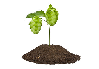 Hops in the land on a white background