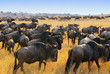 Wildebeest antelopes in the savannah