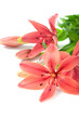 Beautiful fresh pink/red lily flowers, isolated on white