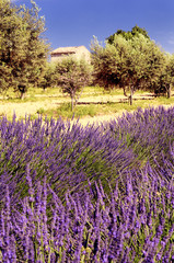 Lavender and olivers in the landscape