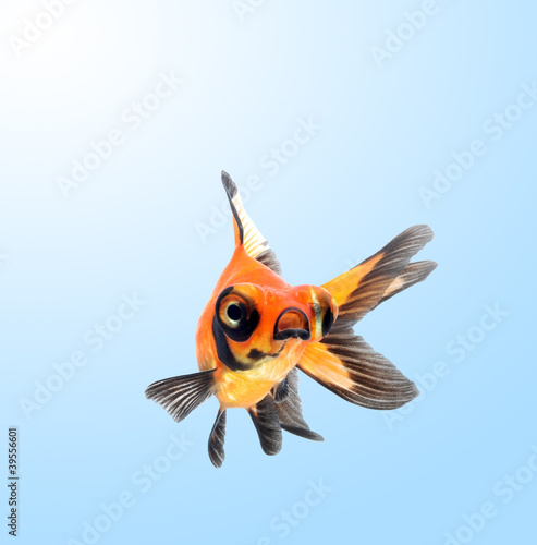 goldfish on blue background