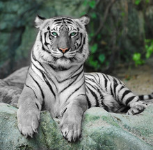 WHITE TIGER sur un rocher au zoo