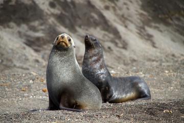 2012-02-08 (113) Aitcho Island Fur Seal