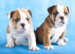 purebred english Bulldog puppy