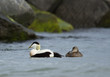 A pair of common eiders