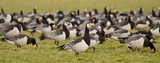A group of barnacle geese
