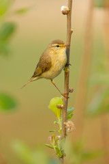 A Willow Warbler