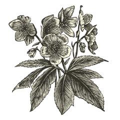 Hellebore (Helleborus niger)