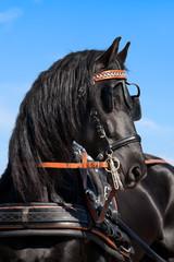Friesian horse in summer