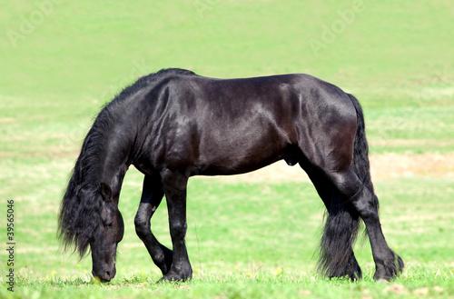 Koń czarny koń w trawie