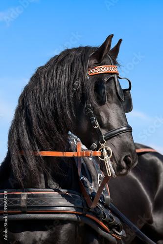 Latem konie fryzyjskie