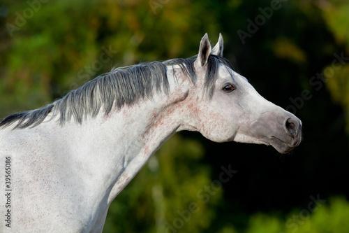 Szary portret koni arabskich w drewnie