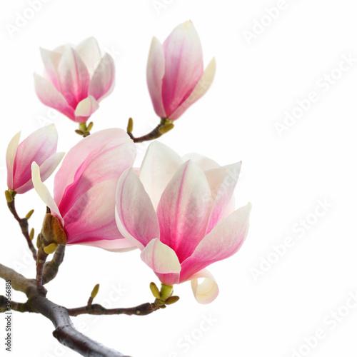 Fotobehang Magnolia plant on white magnolia