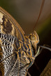 Owl Butterfly Close-up Shot
