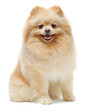 Portrait of sitting pomeranian spitz