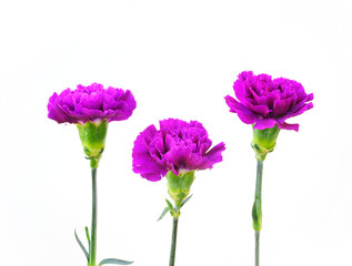 A Row of Carnation Flowers on White Background