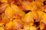Fototapety fall leaf