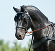 portrait black friesian horse carriage driving