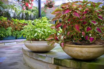Beautiful potted coleus plants in garden room