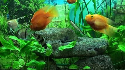 Beautiful aquarium with gold fish