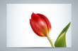 red tulip (vector)