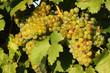 Bunte Weintrauben im Weingarten