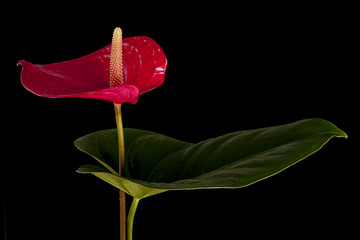 Anthurium flower and leaf isolated