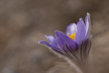 Pasque flower - Pulsatilla