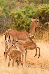 Female impala with young impalas, Samburu, Kenya