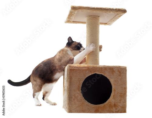 chat siamois et griffoir - 39613633