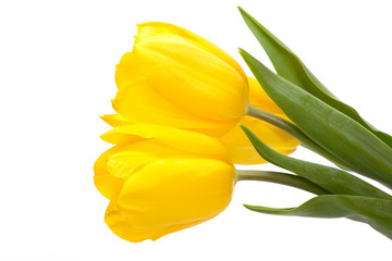 three yellow tulips flower isolated on white background