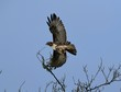 Red Tailed Hawk Takes Flight