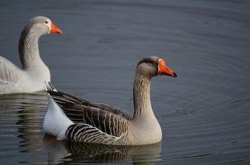 Two White Fronted Geese on a Pond