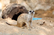 Suricate or Meerkat sitting on the sand