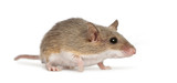 African Pygmy Mouse - Mus minutoides, the smallest of all rodent poster