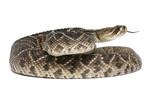 eastern diamondback rattlesnake - Crotalus adamanteus poster