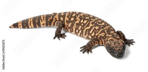 Gila monster - Heloderma suspectum, poisonous - 39625873