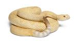 albinos western diamondback rattlesnake - Crotalus atrox poster