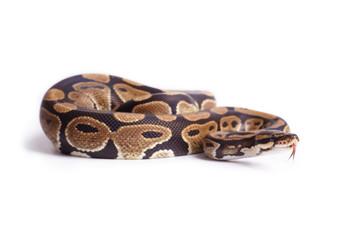 Schlange züngelt