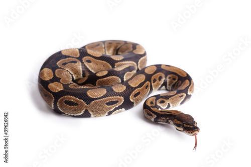 Leinwanddruck Bild Schlange züngelt