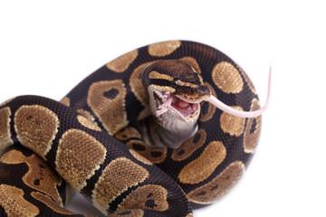 Schlange frisst eine Maus