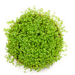 Fresh green watercress isolated