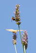 Old World Swallowtail on lavender flowers