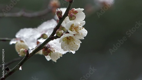 The flower of a White Plum wore snow,in Oume Japan