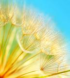 Fototapety Soft dandelion flowers