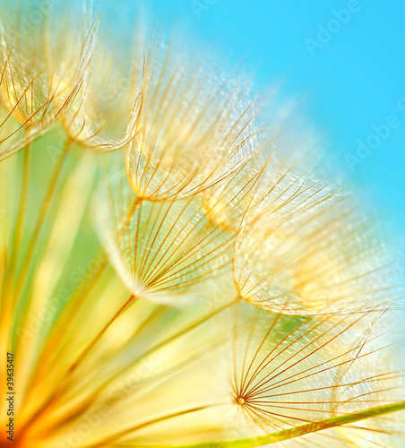 Soft dandelion flowers - 39635417