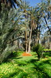 oasis de Mides, dattes 6