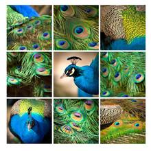 Patte Kwadrat ptak kolorowy głowa niebieski pawie Piora