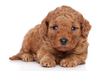 Poodle Puppy portrait